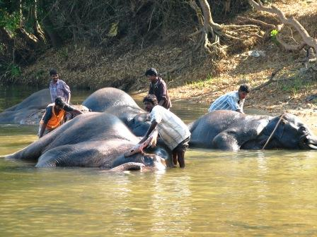 The mahouts bathing their elephants in the Kaveri River