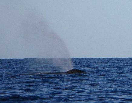 Humpback Whale of Maui