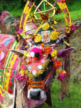 Decorated bull on our way to Varasgaon